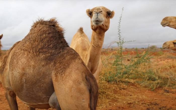 Somali Camel Farm