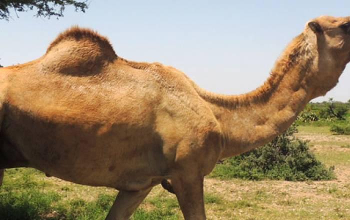 Ileeye Camel Dairy Somalia