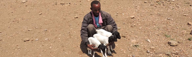 Rays Sheep and Goat Fattening Farm Somalia