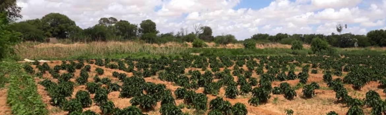 Barisamaad Farm   Somali Agriculture